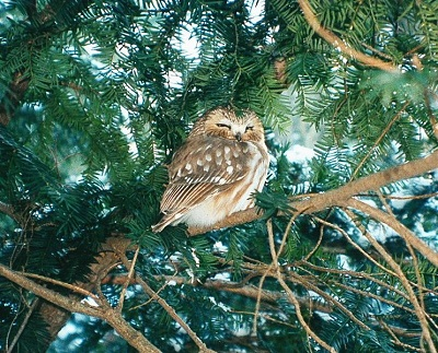 A Northern saw-whet owl spotted in Lisle's Morton Arboretum. Photo by Jay Sturner