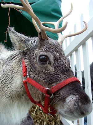 Reindeer in red